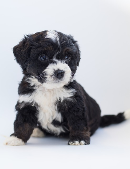 F1 bernedoodle puppy checklist