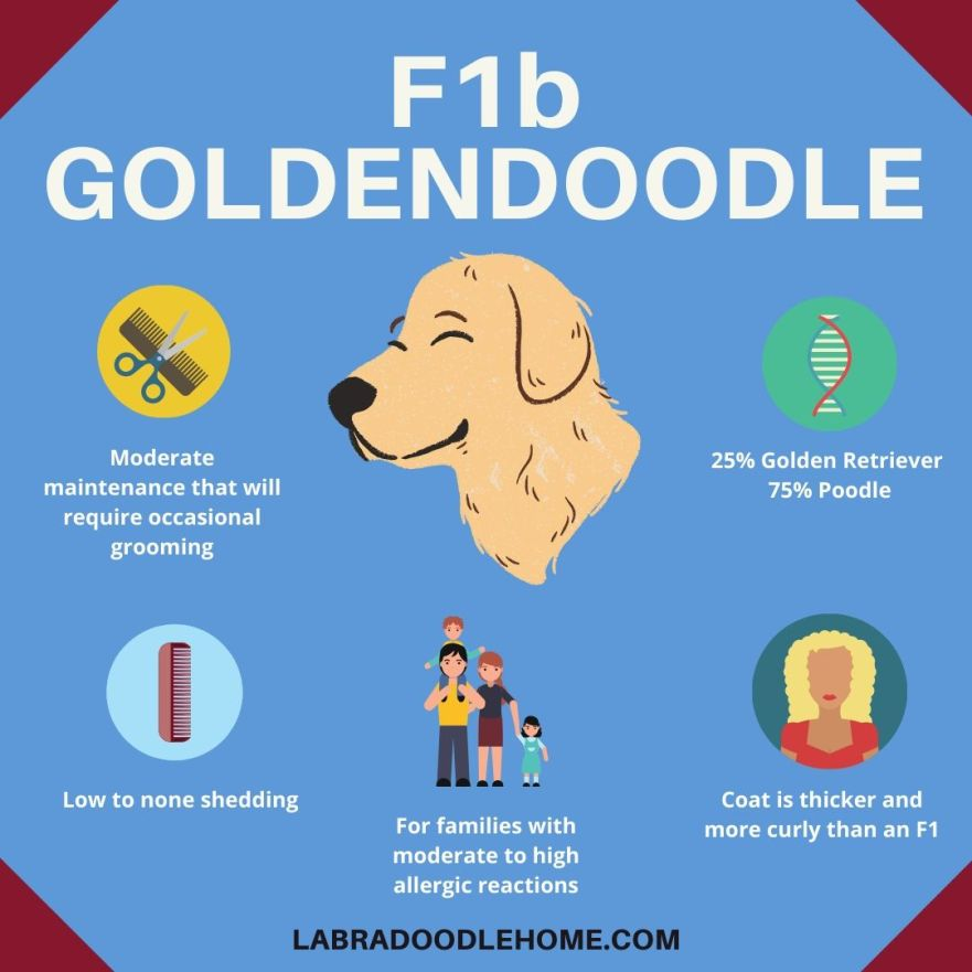 F1b Goldendoodle Infographic