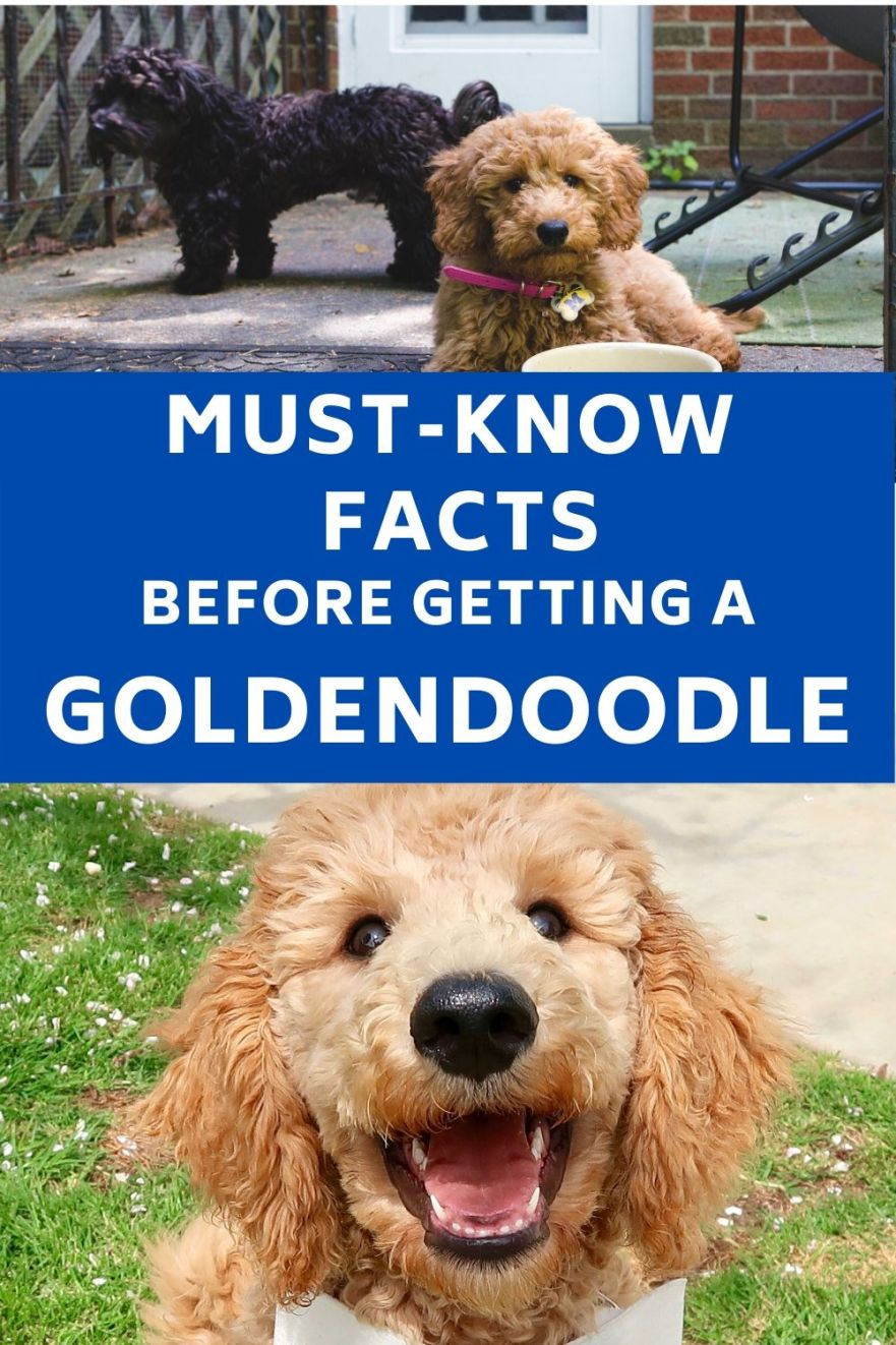 Must know facts before getting a Goldendoodle