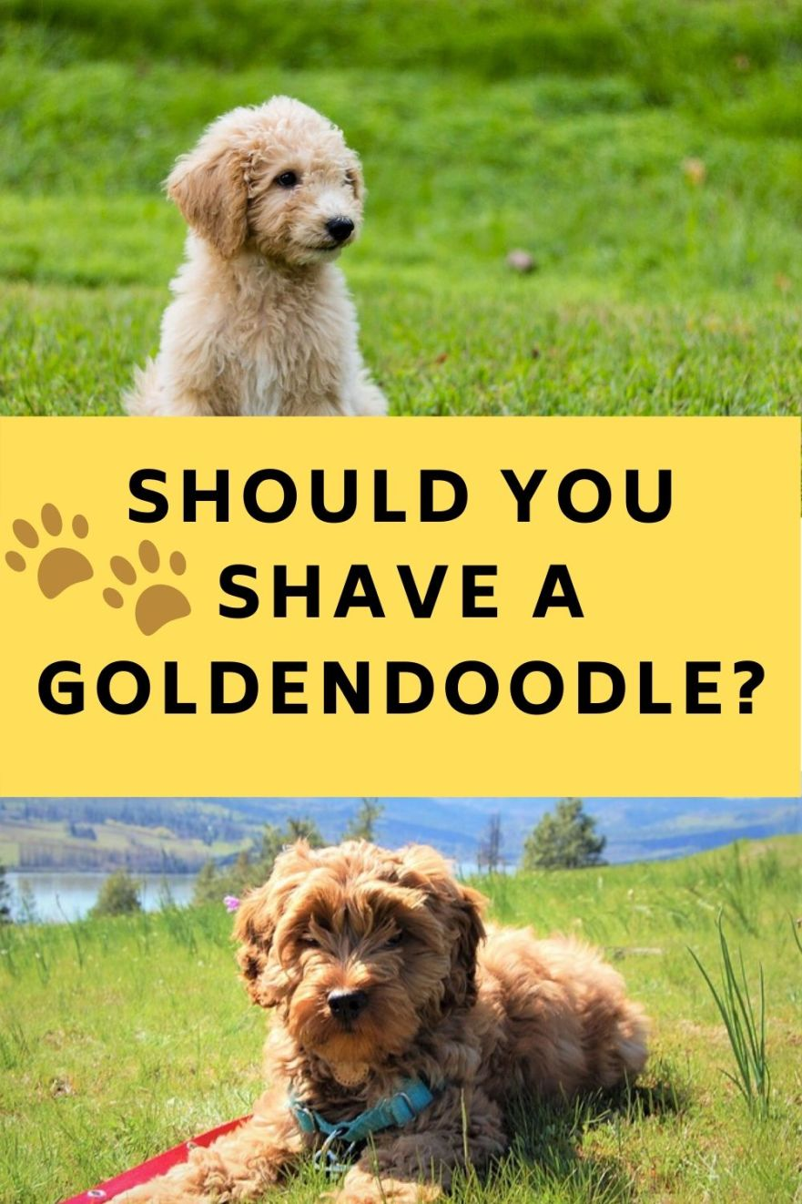 Should You Shave a Goldendoodle