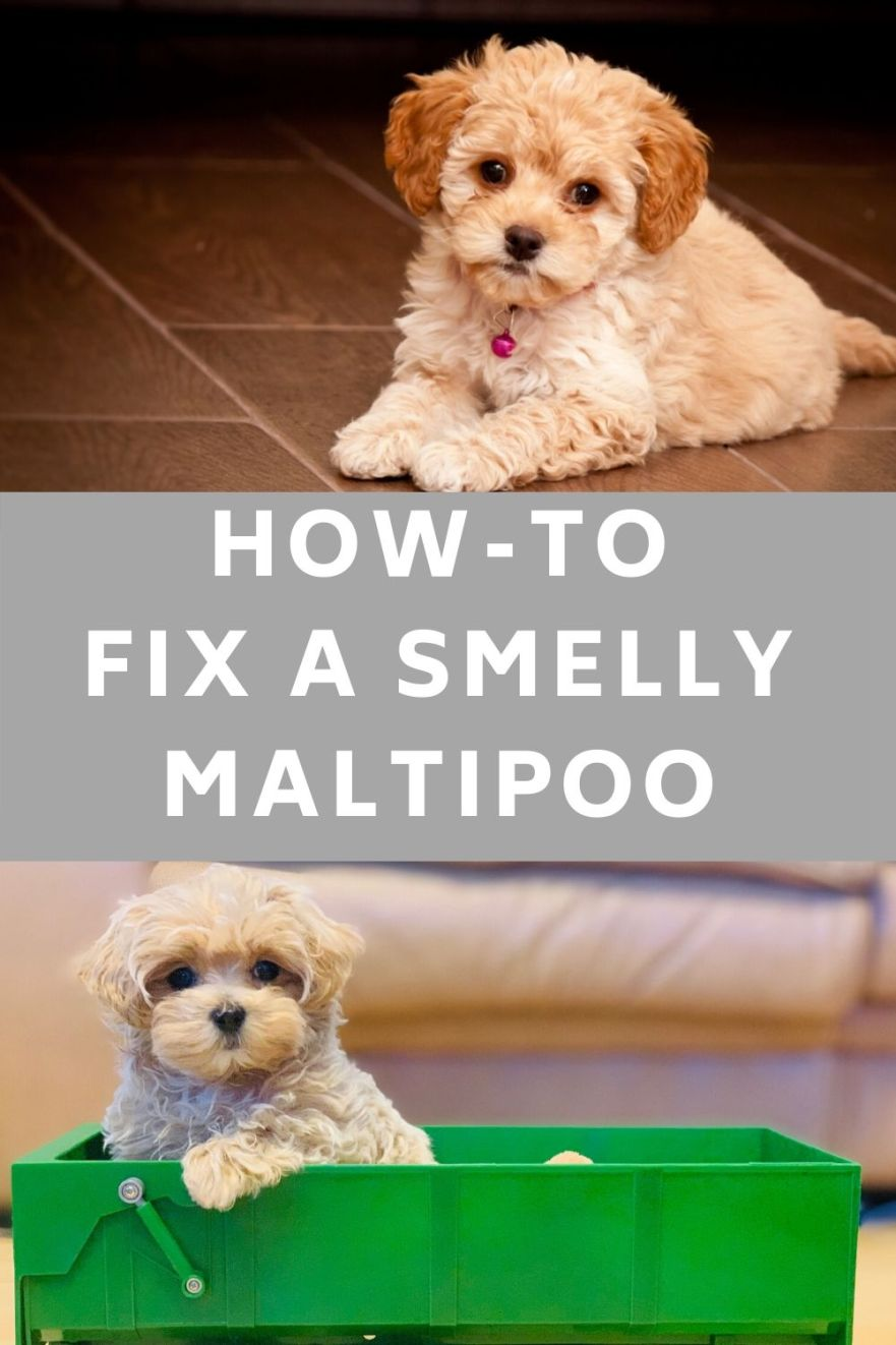 Why does my maltipoo smell