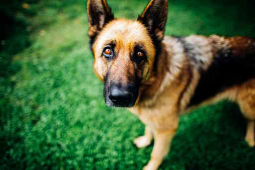 Do German Shepherds Suffer From Separation Anxiety? Can A German Shepherd Bite Break Bones Dinovite Alternatives what is withers on a dog Definition Of Withers On A Dog Measuring Withers On a Dog