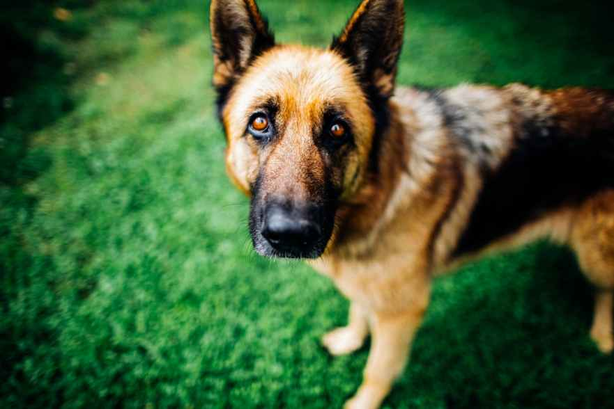 Do German Shepherds Suffer From Separation Anxiety?