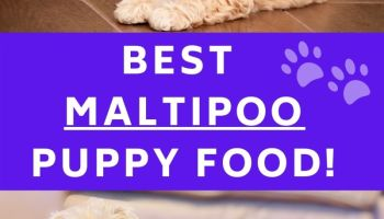 Best maltipoo puppy food