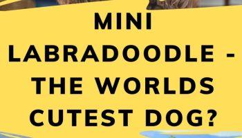 Mini Labradoodle