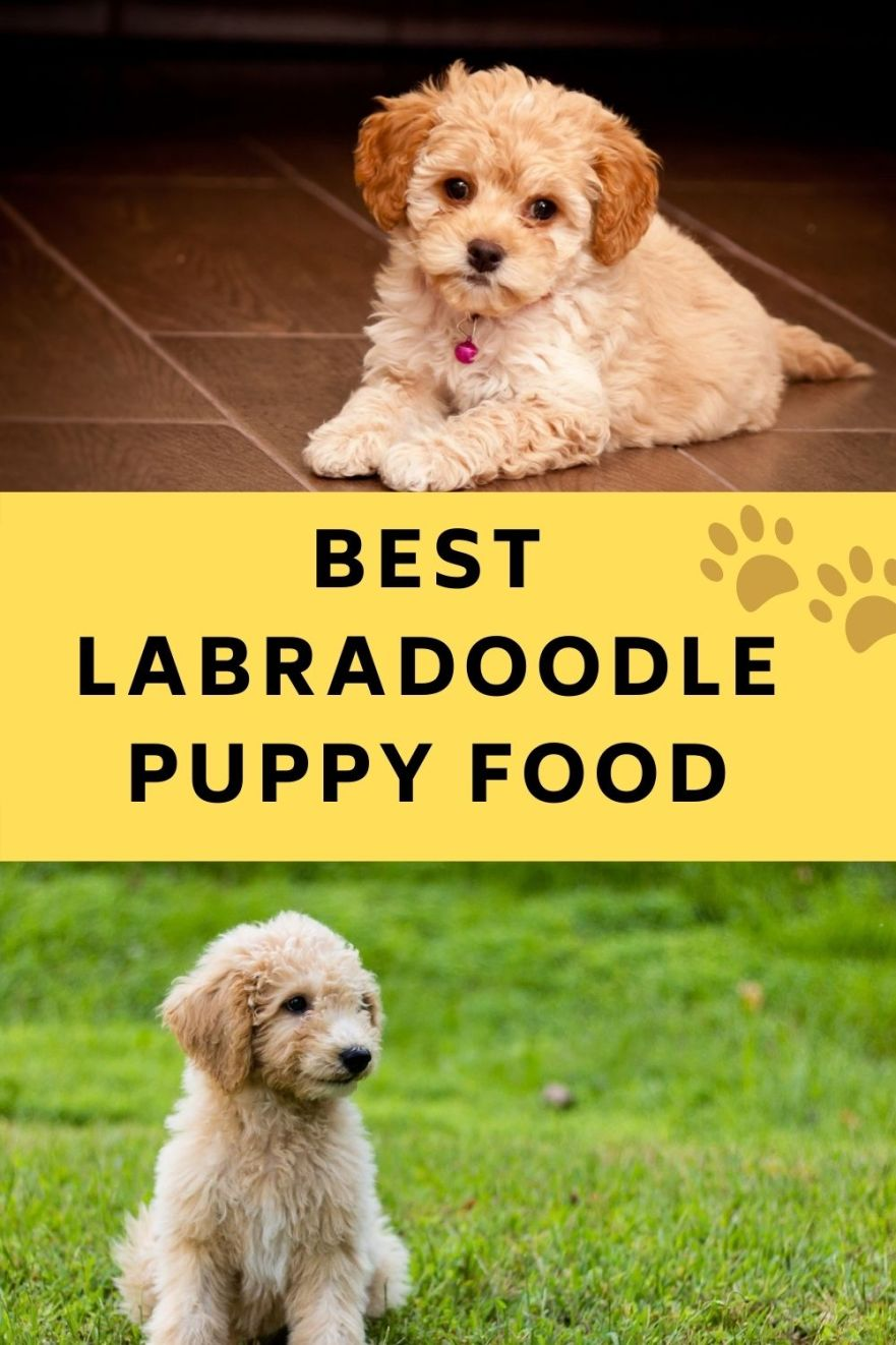 Best Labradoodle puppy food