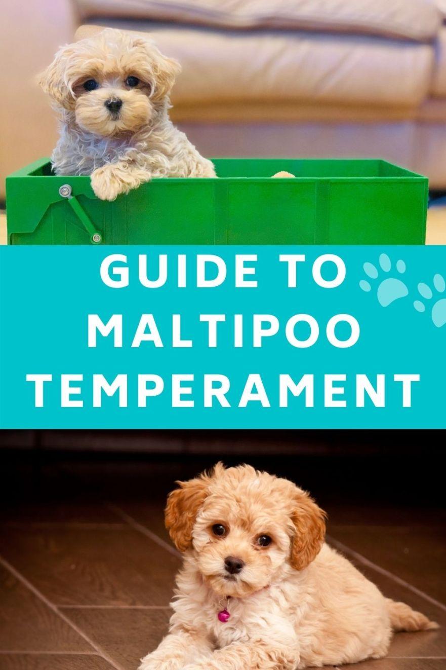 Maltipoo Temperament