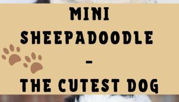 Mini Sheepadoodle