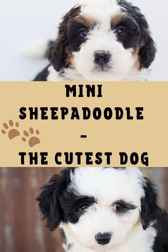 Mini Sheepadoodle Mini Sheepadoodle Temperament