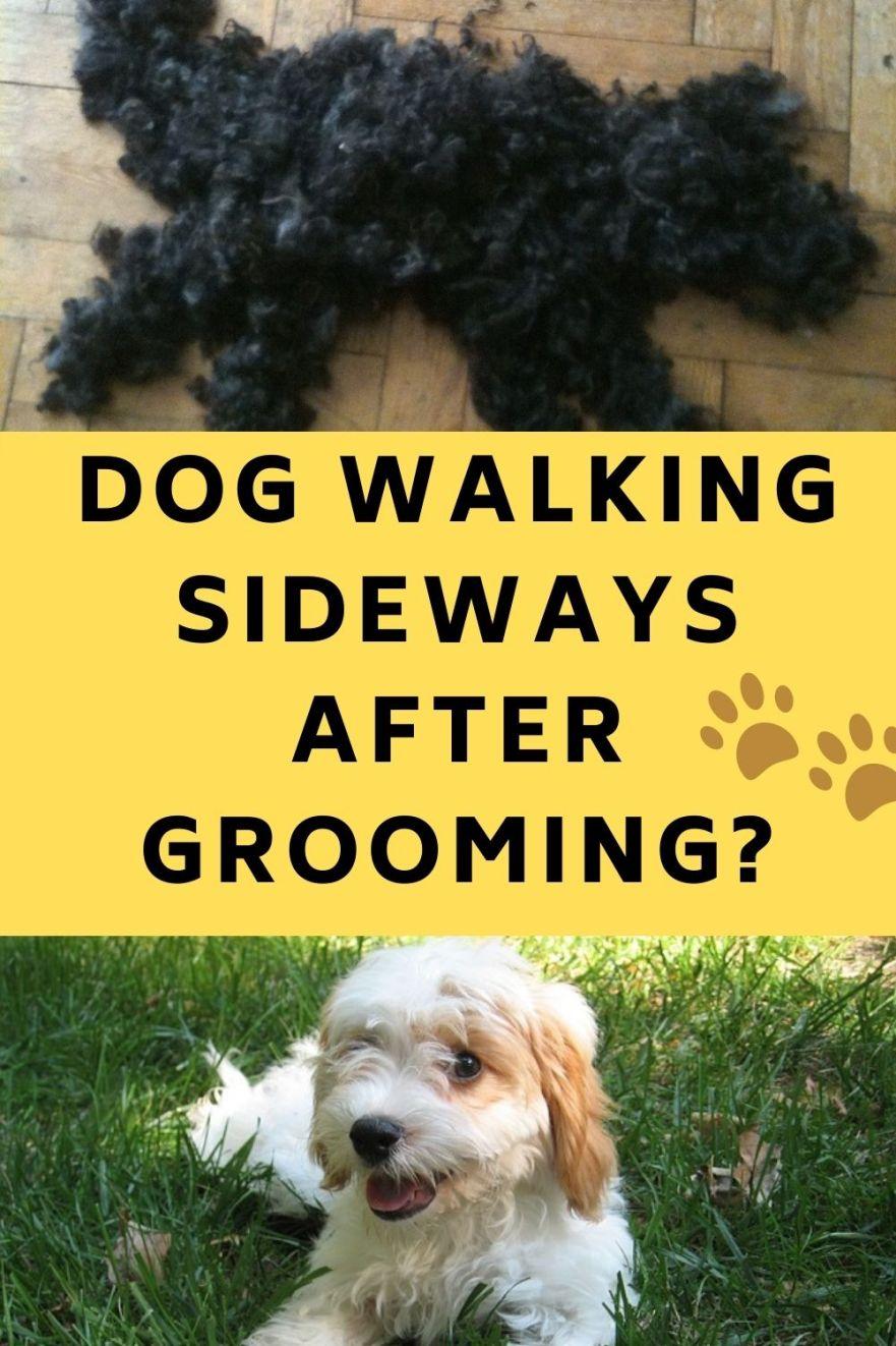 Dog Walking Sideways After Grooming Dog Behaviour after Grooming