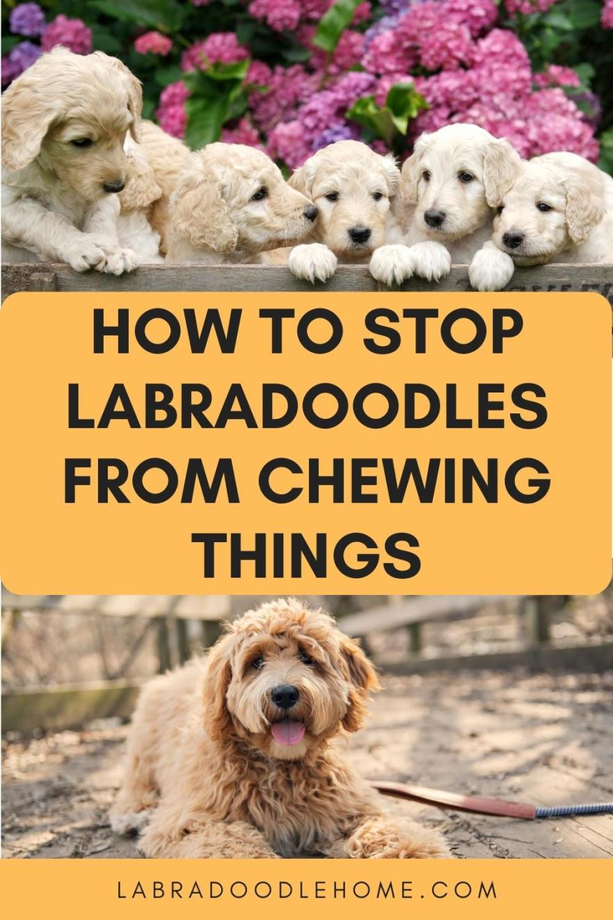 How To Stop Labradoodles From Chewing Things