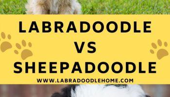 Labradoodle vs sheepadoodle