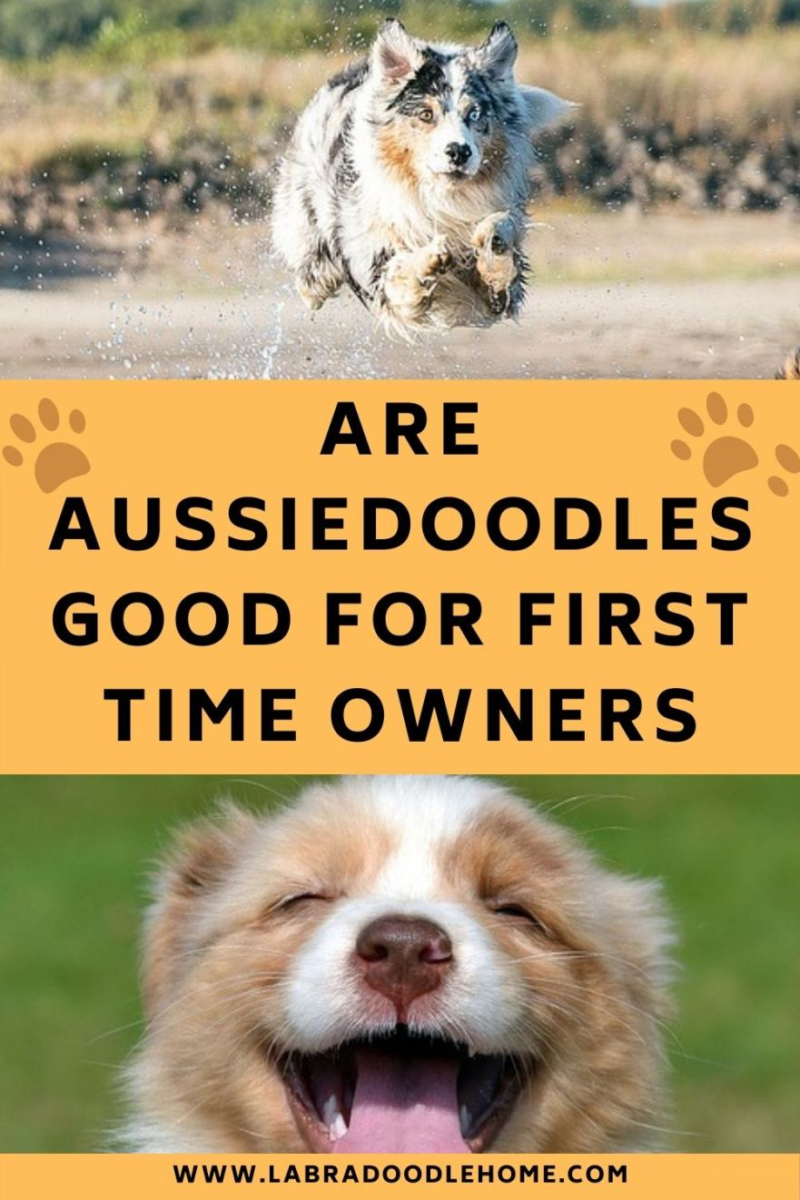 Why Are Aussiedoodles Good For First Time Owners