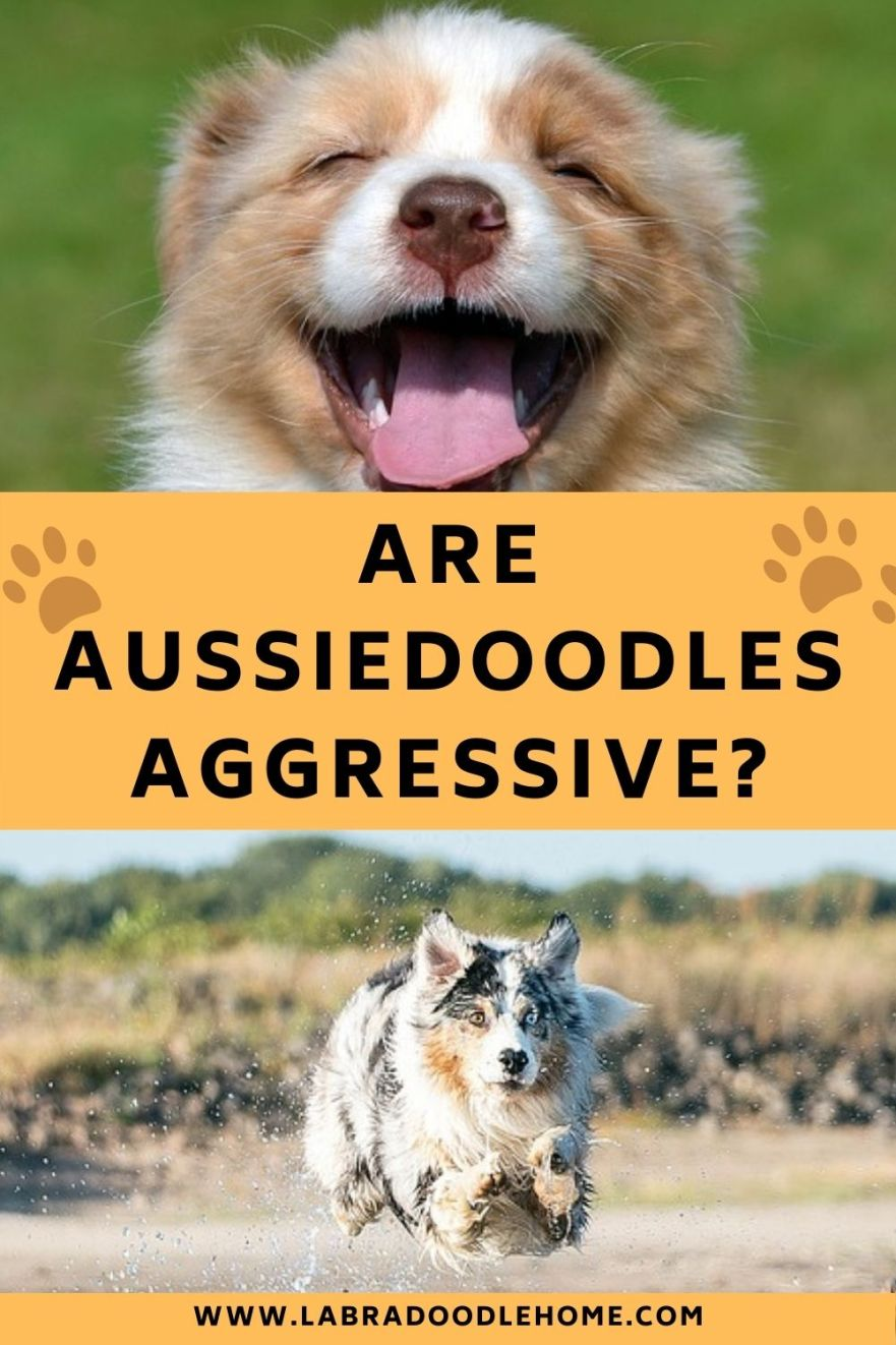 are aussiedoodles aggressive