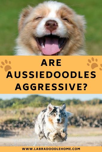 are aussiedoodles aggressive aussiedoodle temperament aussiedoodle personality