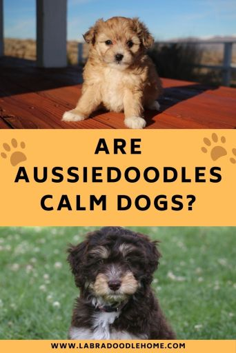are aussiedoodles calm dogs