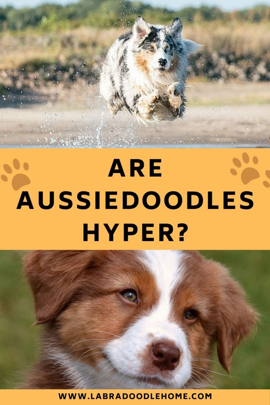 are aussiedoodles hyper