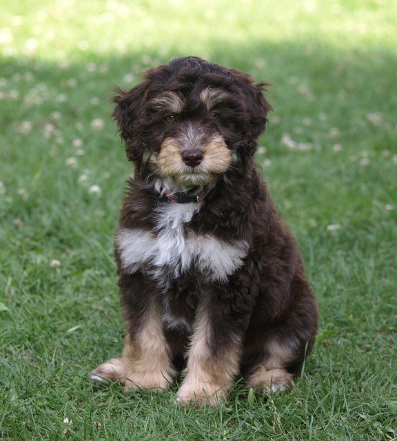 Ways To Keep Aussiedoodles In Top Shape Is it Easy to Train Aussiedoodles aussiedoodle puppy checklist Are Aussiedoodles Calm Dogs when do aussiedoodles stop growing phantom tricolor bernedoodle