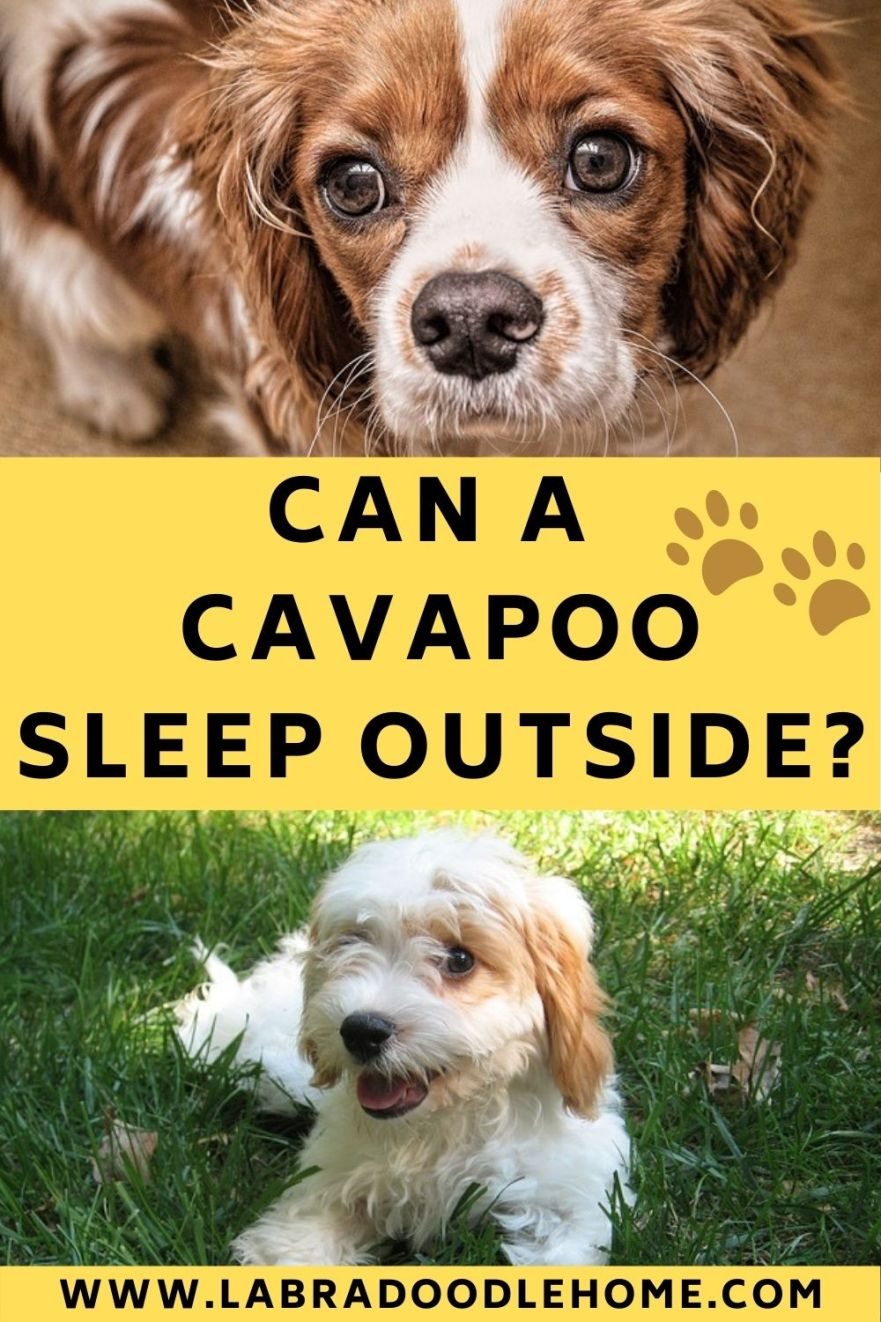 can a cavapoo sleep outside at night can a cavapoo sleep outside during winter