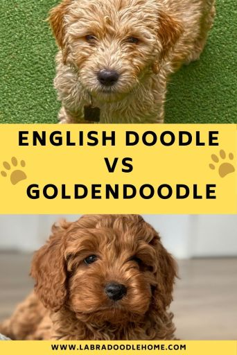 english doodle vs goldendoodle - What Is the Difference Between a Goldendoodle and an English Goldendoodle