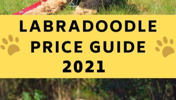 labradoodle price guide labradoodle cost