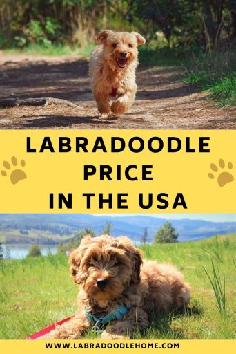 Labradoodle Price In USA