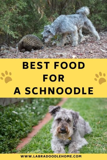 best food for schnoodle dogs