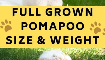 full grown pomapoo full grown
