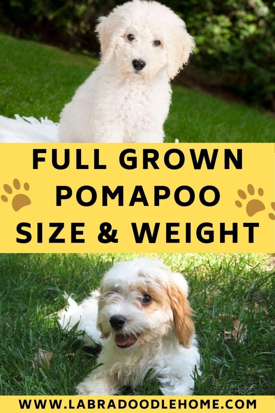 full grown pomapoo full grown