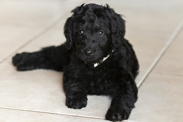 full grown labradoodle weight