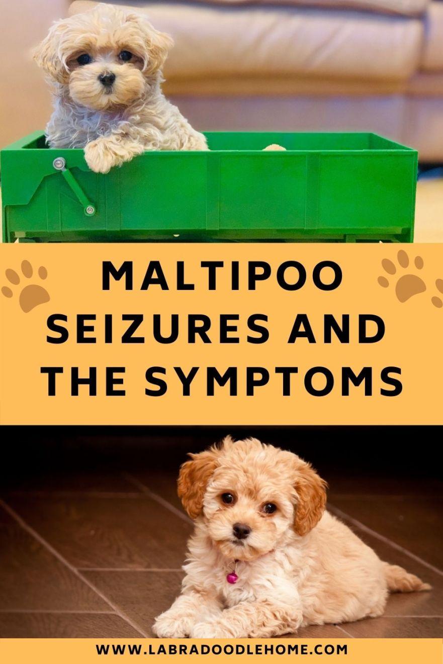 Maltipoo Seizures – Symptoms & Other Common Health Problems