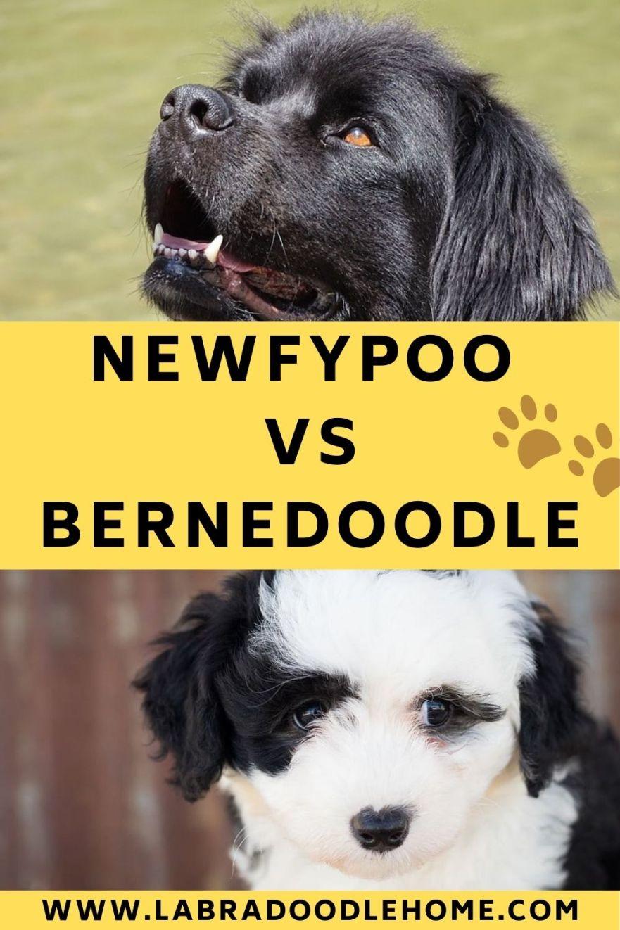 newfypoo vs bernedoodle