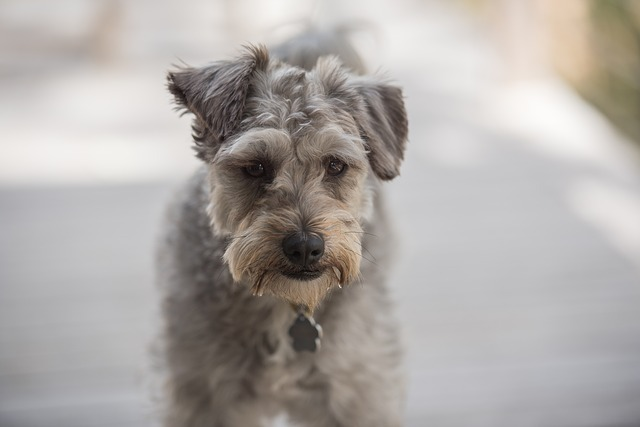 how to trim a schnoodle face