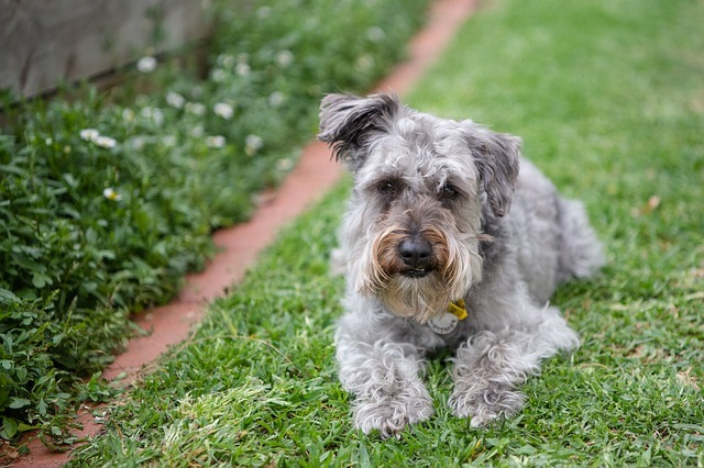 schnoodle grooming styles