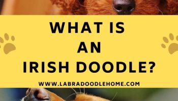 what is an irish doodle