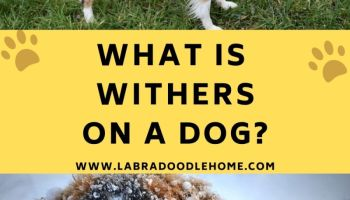 what is withers on a dog