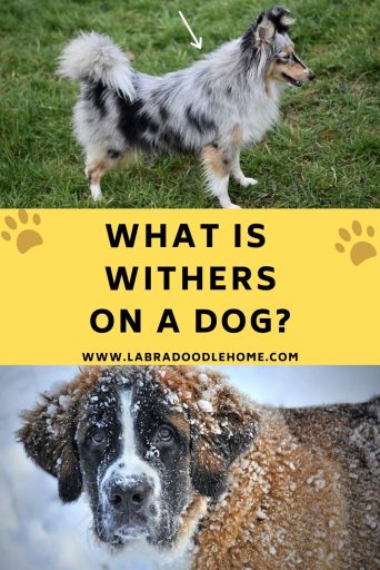 what is withers on a dog Definition Of Withers On A Dog Measuring Withers On a Dog