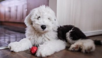 Sheepadoodle Breeders in Illinois
