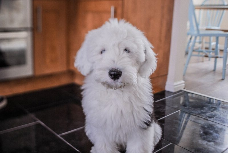 Sheepadoodle puppies in the midwest
