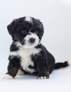 The 5 Best Bernedoodle Breeders In The Midwest – 2021