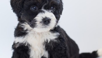 bernedoodle breeders in the midwest