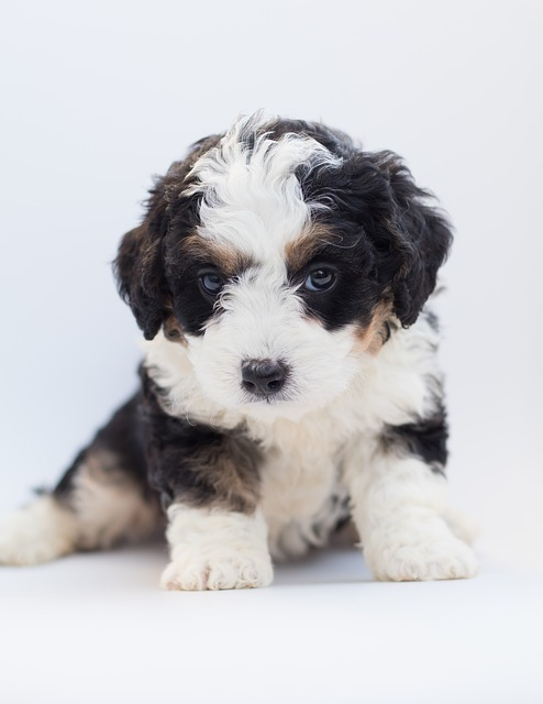bernedoodle puppies in oregon