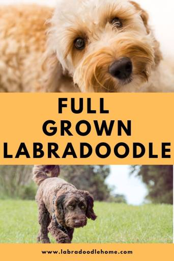 labradoodle full grown labradoodle