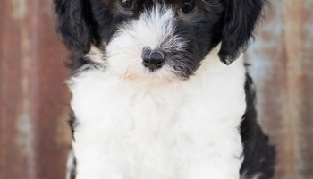 sheepadoodle breeders in california