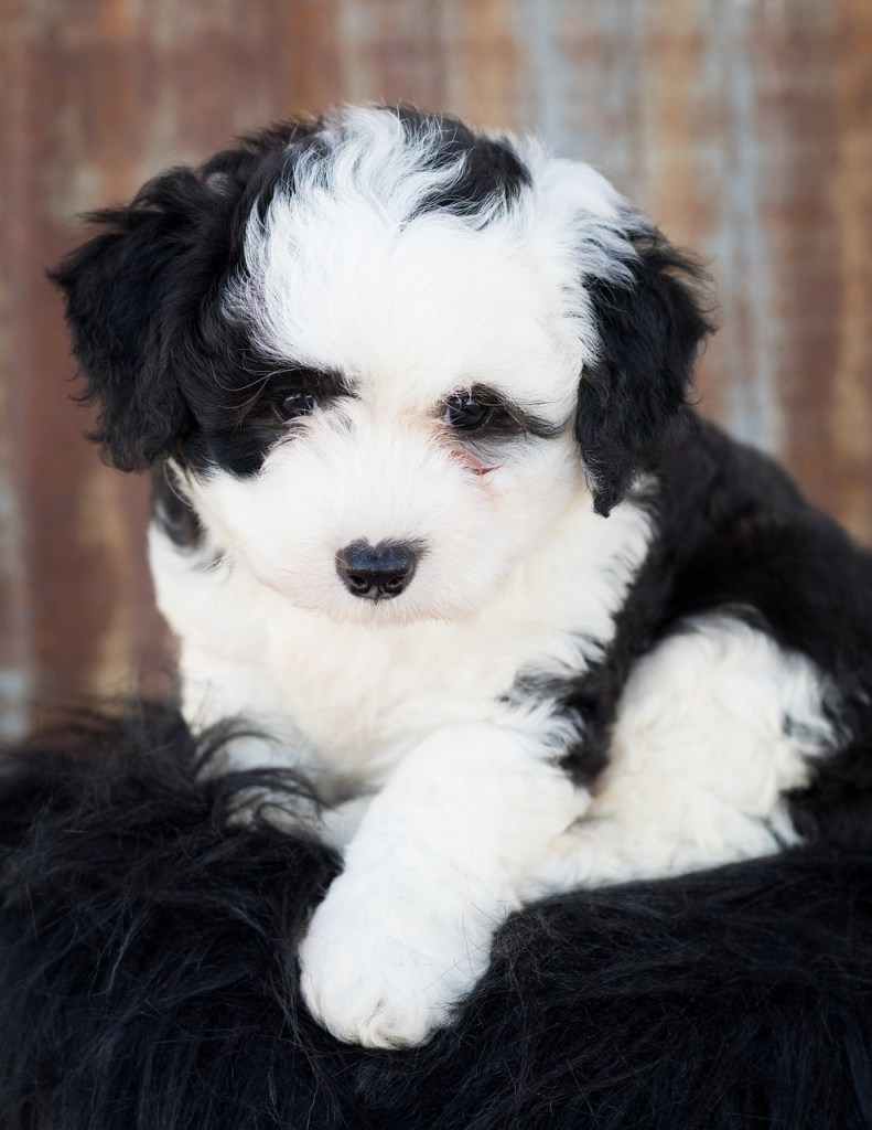 sheepadoodle puppies on the west coast