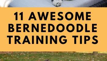 bernedoodle training tips