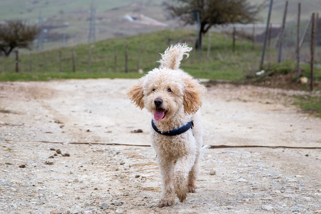 goldendoodle food allergy symptoms