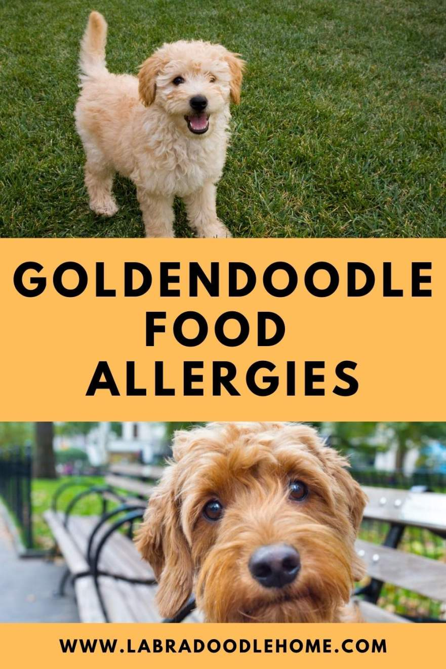goldendoodle food allergies