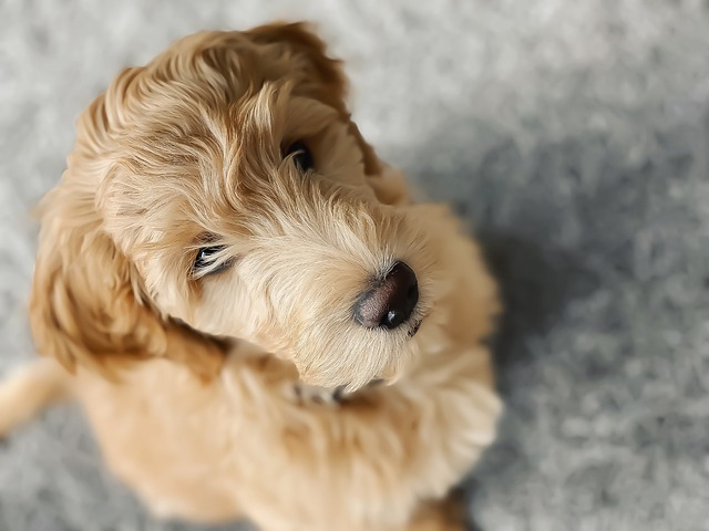 goldendoodle food allergy treatments