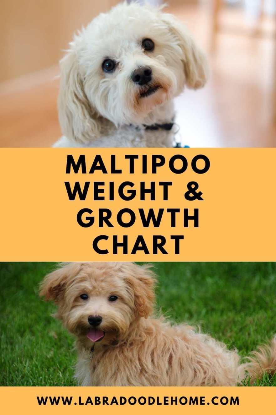 maltipoo weight chart